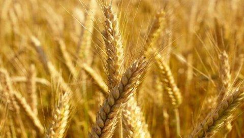 疫情攪局 小麥稻米價格狂飆